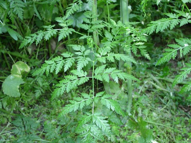 Grande ciguë - Conium maculatum - TRES TOXIQUE Feuill10