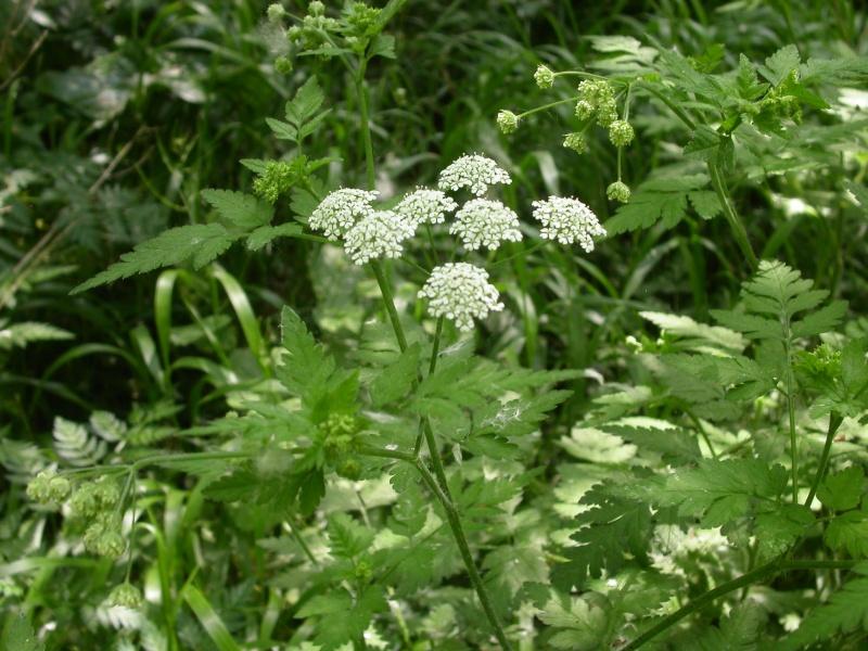 Grande ciguë - Conium maculatum - TRES TOXIQUE Fleur_10