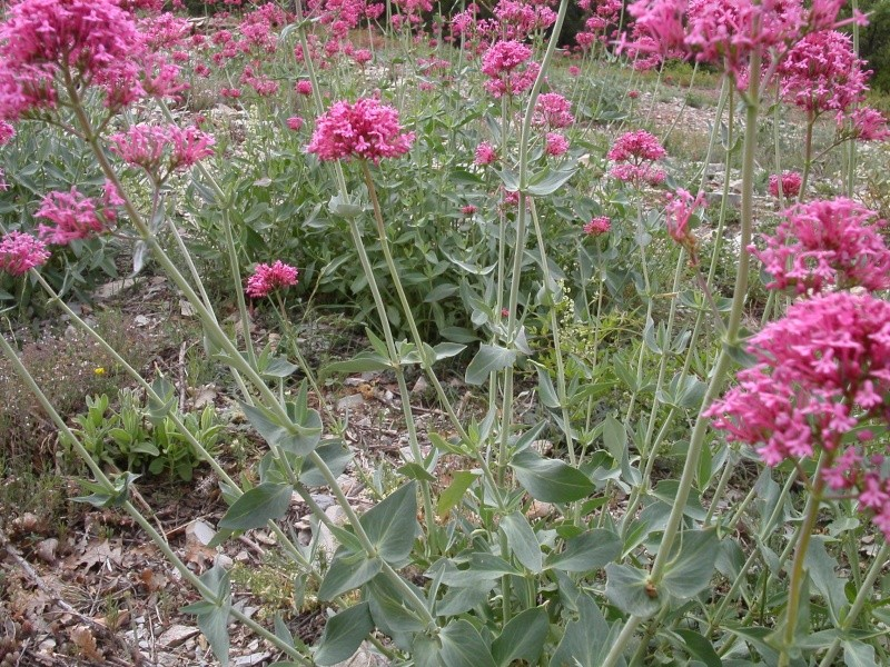 Provence Lilas_10