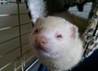 [PERDUE] Tagada, femelle albinos Photo012