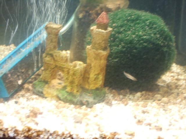 Mes aquariums, leur histoire et leur évolution... 60L et 25L Plante11