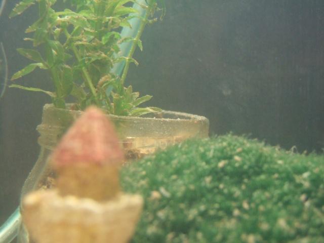 Mes aquariums, leur histoire et leur évolution... 60L et 25L Plante12