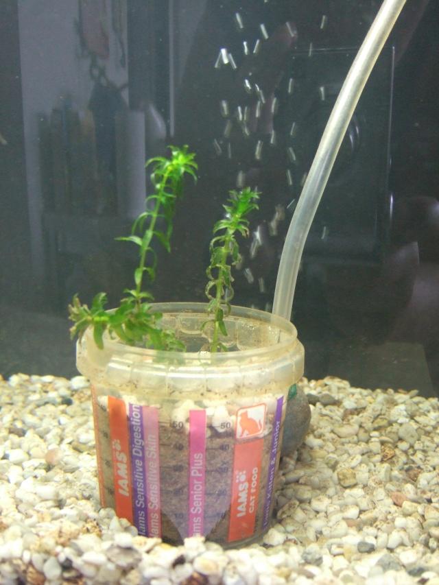 Mes aquariums, leur histoire et leur évolution... 60L et 25L Plante13
