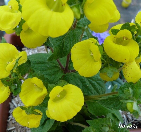 Calceolaria  P1000919