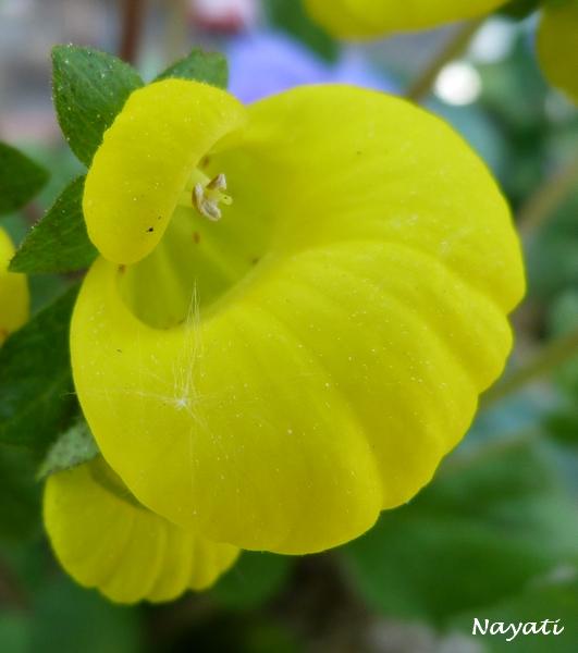 Calceolaria  P1000920