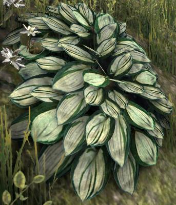 Herbier : la Flore du Couchant Hosta_10