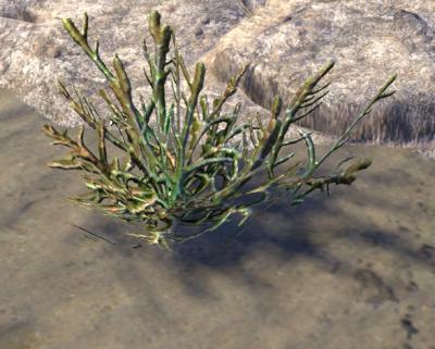 Herbier : la Flore du Couchant Salico11