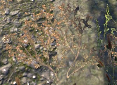 Herbier : la Flore du Couchant Szonez10