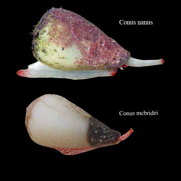 Conus (Harmoniconus) mcbridei   Lorenz, 2005 Compar10