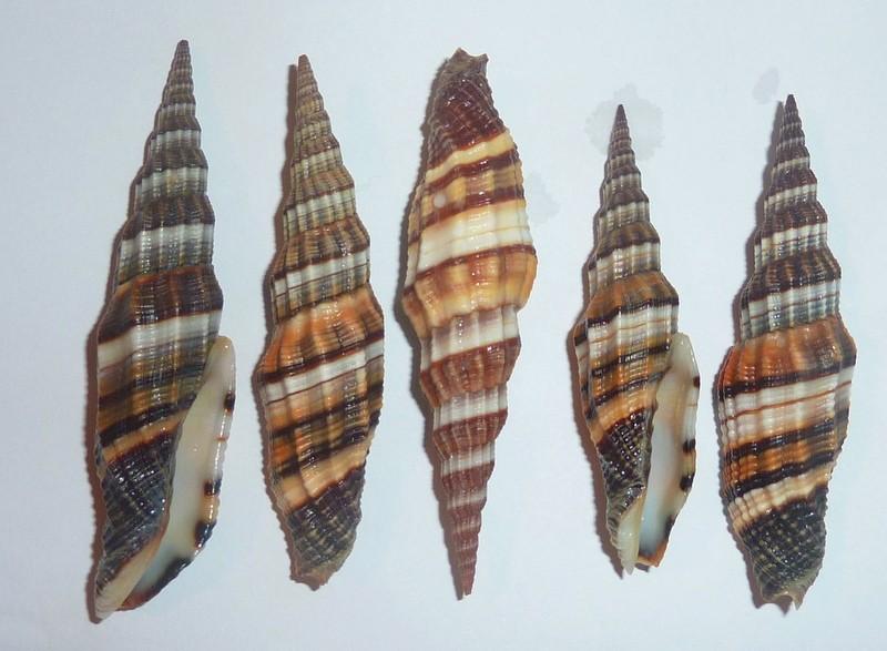 Vexillum citrinum - (Gmelin, 1791) & Vexillum regina - (Sowerby I, 1828) P1020519