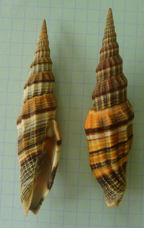 Vexillum citrinum - (Gmelin, 1791) & Vexillum regina - (Sowerby I, 1828) P1020520