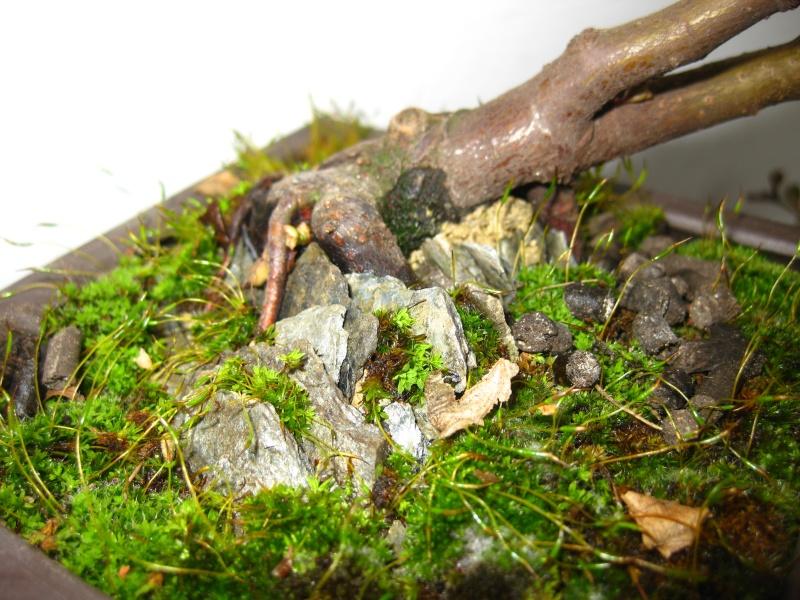 Cotoneaster salicifolia da impostare Img_6010