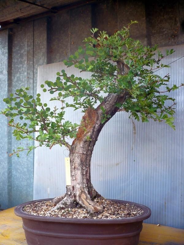 Un biancospino che diventa bonsai...... - Pagina 2 P1050610