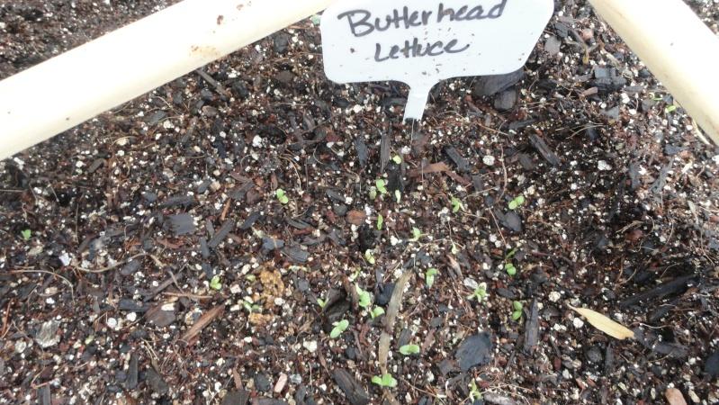 Hey! Mid-south gardeners! In here! Lettuc12