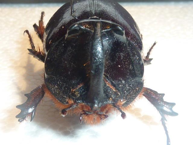 [Oryctes nasicornis laevigatus] identification Oryctes Insect15
