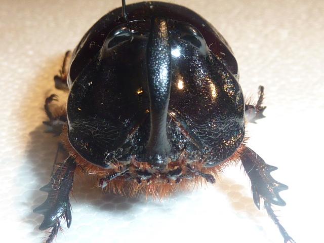 [Oryctes nasicornis laevigatus] identification Oryctes Insect16