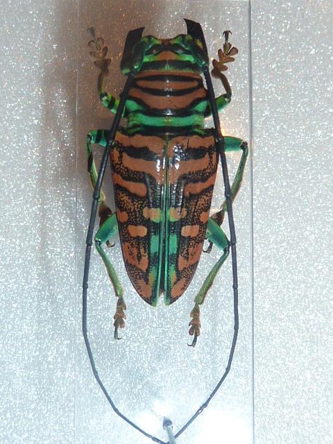 [Sternotomis amabilis] cerambycidae 2 Insect26