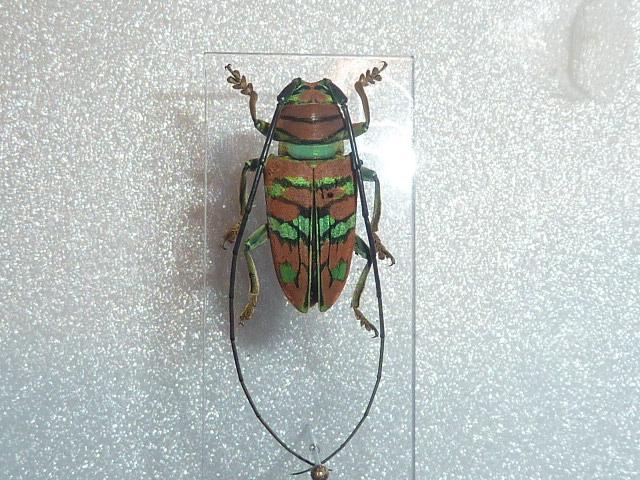 [Sternotomis pulchra ornata] cerambycidae 3 Insect27