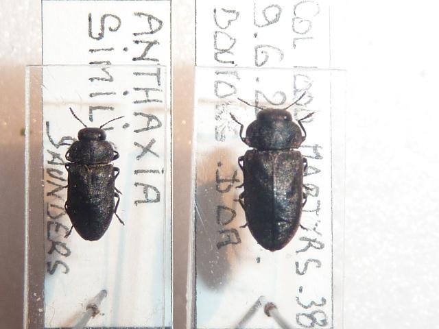 [Anthaxia (Melanthaxia) morio] identification anthaxia Photo10