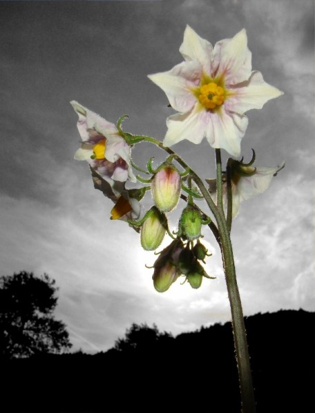 Les fleurs potagères… Fleur-10
