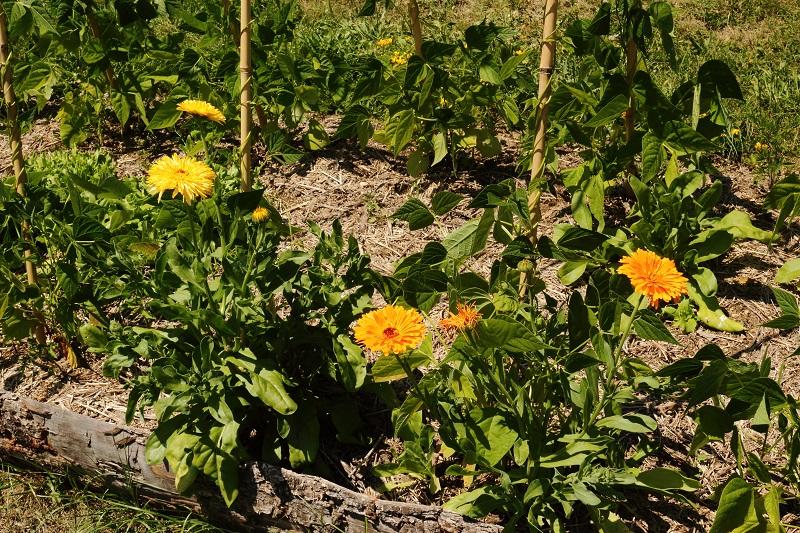 Les fleurs potagères… Img_4310