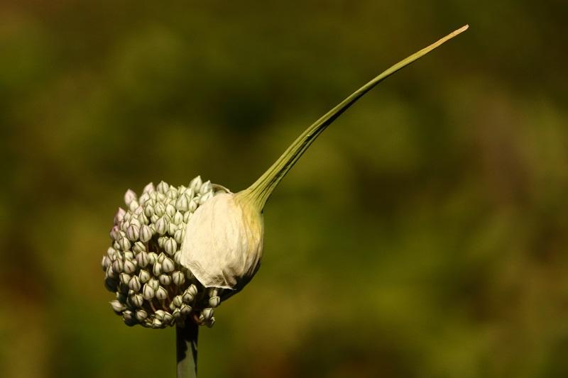 Les fleurs potagères… Img_4412