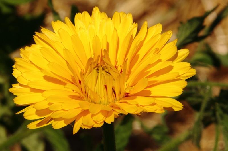 Les fleurs potagères… Img_4710