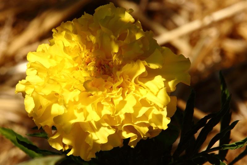 Les fleurs potagères… Img_4711
