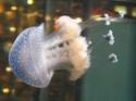 Envie d'en savoir plus sur les méduses? Phyllo11