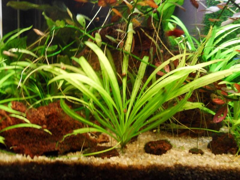 mon aquarium 96 litres Sdc15513