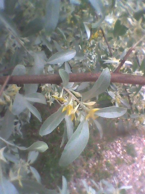 Plante à identifier [Eleagnus angustifolia] A_iden15