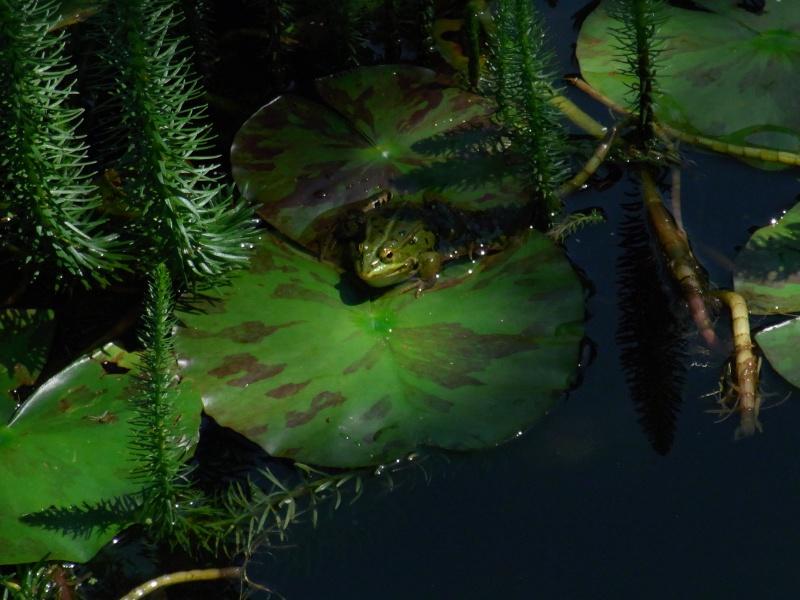Le chant des grenouilles 10311