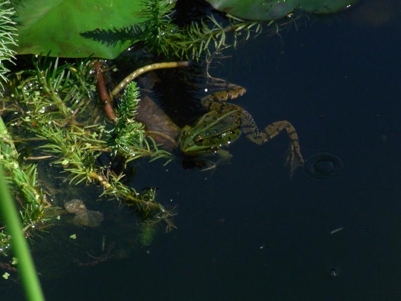 Le chant des grenouilles 10411