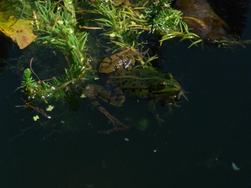 Le chant des grenouilles 11011