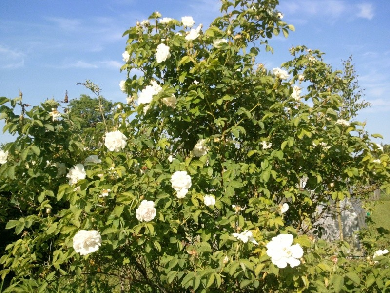 rosier blanc Photo038