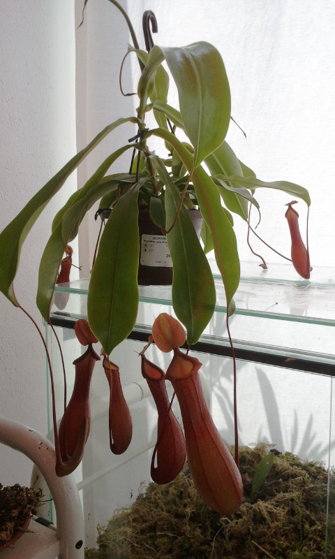 Culture sous terrarium : nepenthes Sanguinea, nepenthes x ventrata 2011-017