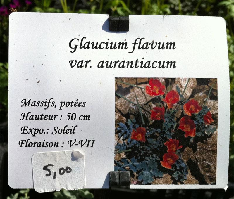 Pavot sauvage jaune : Glaucium flavum Glauci11