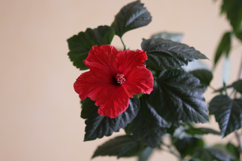 Hibiscus - Page 2 Img_6510