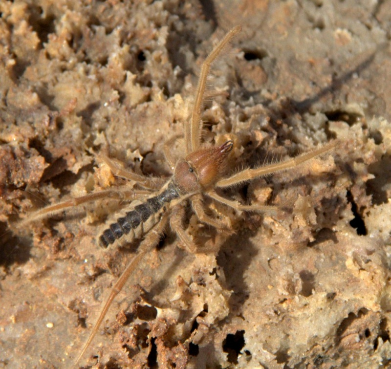 identification araignée, insecte ou crustacé ?  Img_1511