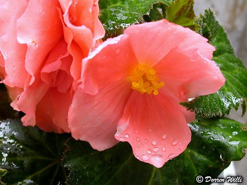 Quelques fleurs de mon jardin Dossie10