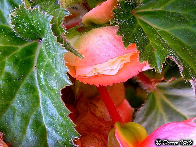 Quelques fleurs de mon jardin Dossie11