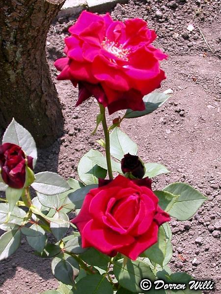 Quelques fleurs de mon jardin Fl-0410