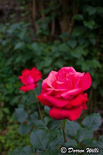 Quelques fleurs de mon jardin Img_0110