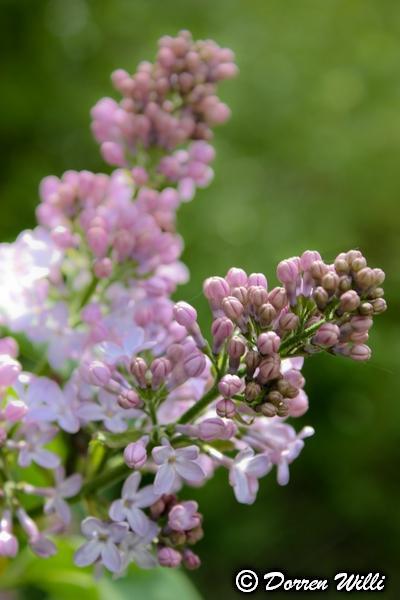 Quelques fleurs de mon jardin Photo_10