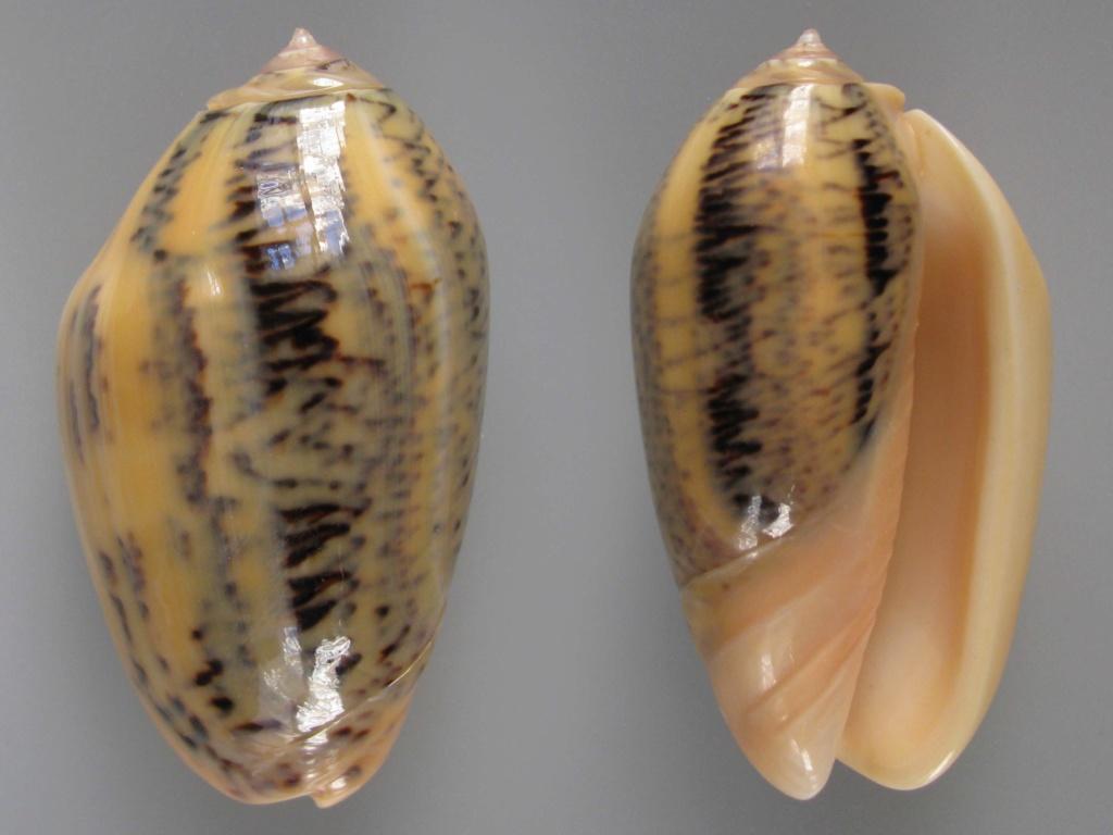 Americoliva incrassata burchorum (Zeigler, 1969) - Worms = Americoliva incrassata (Lightfoot in Solander, 1786) - Page 2 Img_4710