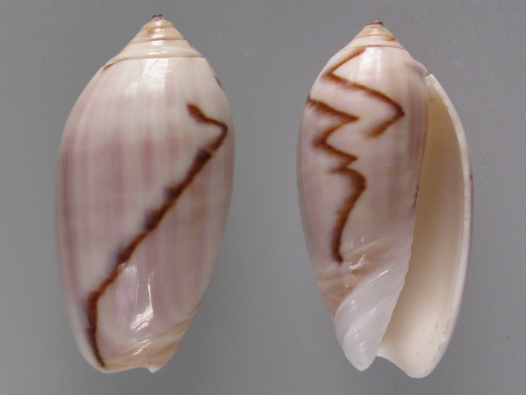 Americoliva peruviana f. fulgurata ((Von Martens, 1869) accepted as Americoliva peruviana (Lamarck, 1811)  Img_4810