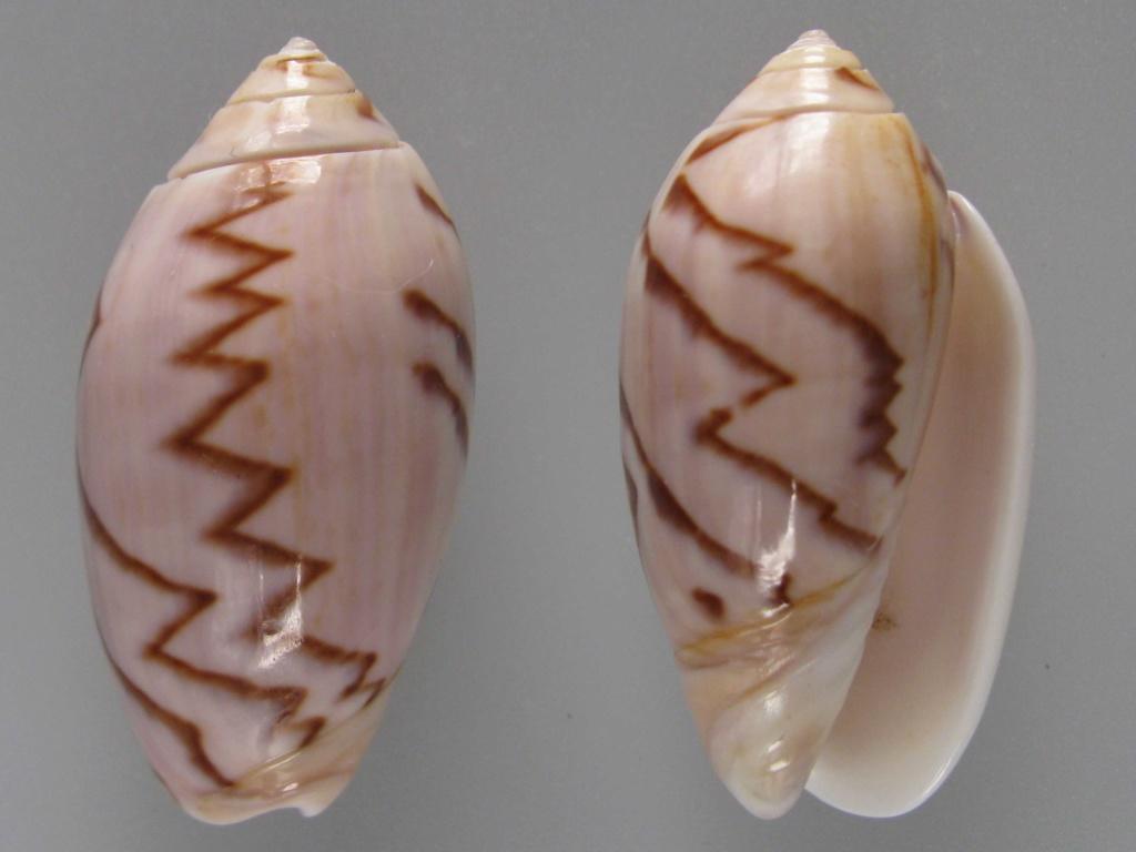Americoliva peruviana f. fulgurata ((Von Martens, 1869) accepted as Americoliva peruviana (Lamarck, 1811)  Img_4811