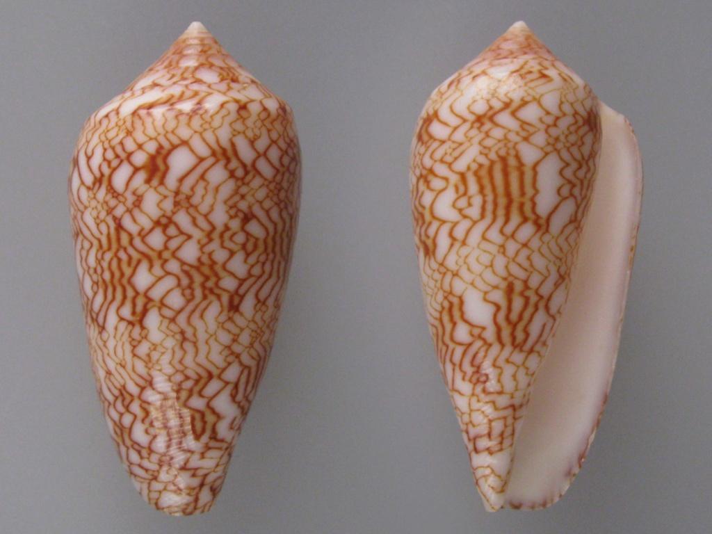 Conus (Cylinder) archiepiscopus suzannae   van Rossum, 1990 Img_4821