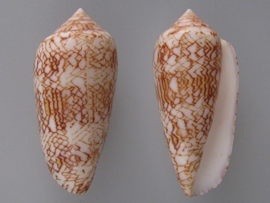 Conus (Cylinder) archiepiscopus suzannae   van Rossum, 1990 Img_4822