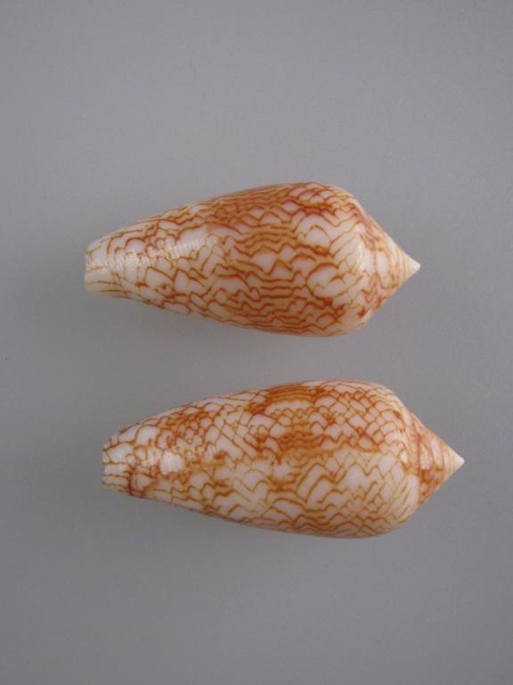 Conus (Cylinder) archiepiscopus suzannae   van Rossum, 1990 Img_4823